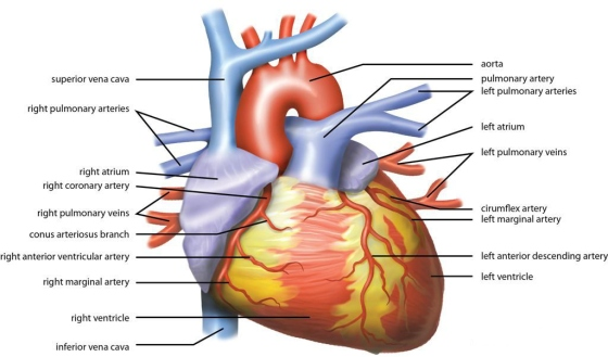Wiki_Heart_Antomy_Ties_van_Brussel
